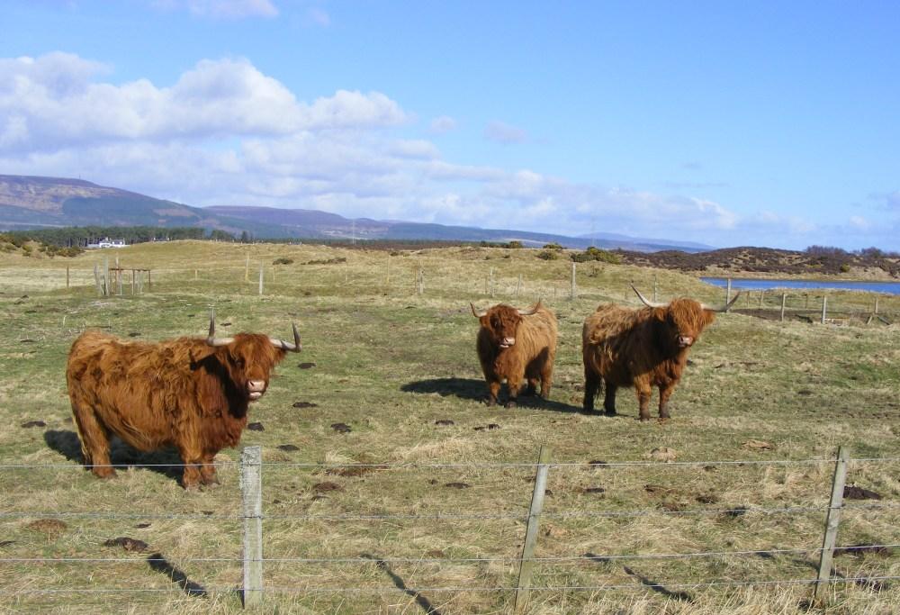 Highland Coos near Accommodation